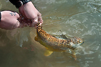 Releasing a brown trout caught on the Green River a trout stream in the Driftless Area of southwestern Wisconsin.