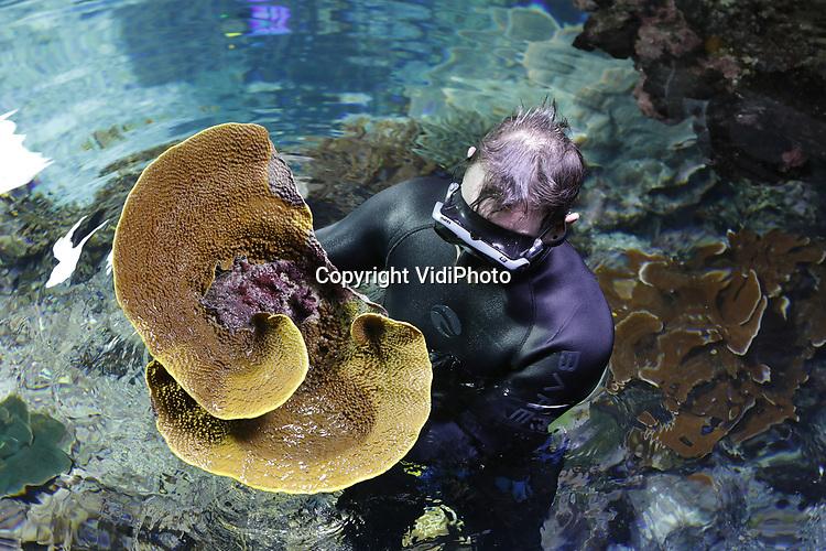 Foto: VidiPhoto<br /> <br /> ARNHEM &ndash; Biologen en dierverzorgers van Burgers&rsquo; Ocean in Arnhem bereikten woensdag een historische mijlpaal: meer dan 300 zelf gekweekte koralen, zeeanemonen en koraalvissen werden &lsquo;geoogst&rsquo;, ingepakt en naar Engeland verstuurd. Burgers&rsquo; Zoo schenkt alle dieren uit eigen kweek aan London Aquarium en Chester Zoo. Dankzij het Arnhemse kweeksucces is het tropisch koraalrifaquarium van Burgers&rsquo; Zoo al jaren hofleverancier van koralen aan Europese collega-aquaria. Het Londense koraalrif wordt dankzij het transport van woensdag 23 januari 2019 opgebouwd met 170 steenkoralen en 90 zachte koralen die in Arnhem gekweekt zijn. Meer dan negentig procent van de koralen zijn geoogst van het levende koraalrif voor de schermen van Burgers&rsquo; Ocean. De overige tien procent zijn achter de schermen van de Ocean gekweekt. Burgers&rsquo; Ocean is een tropisch koraalrifaquarium van 8 miljoen liter water. Een zeer belangrijk onderdeel van het Arnhemse aquarium is het levende koraalrif in een bassin van 750.000 liter water. Dit Arnhemse levende koraalrif is het grootste van alle publieksaquaria in Europa. Wereldwijd bestaat er slechts &eacute;&eacute;n levend koraalrif in aquaria dat groter is (Townsville, Australi&euml;).