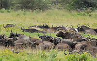 A herd of Cape Buffalo, Syncerus caffer caffer, in Lake Nakuru National Park, Kenya. A Cattle Egret, Bubulcus ibis, and several  Red-billed Oxpeckers, Buphagus erythrorhynchus, perch on their backs.