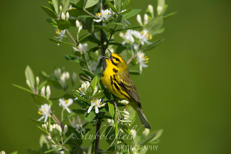Prairie Warbler (Setophaga discolor discolor). male in breeding plumage singing on it's breeding territory in Sterling Forest State Park, New York