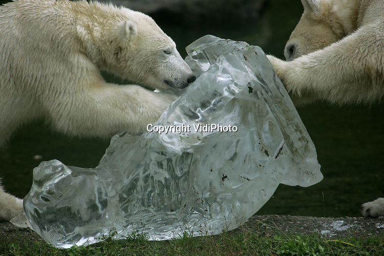 Foto: VidiPhoto..RHENEN - IJsberen blijken inderdaad dol op ijs. De ijsberen van Ouwehands Dierenpark in Rhenen kregen vrijdag ijssculptuur in de vorm van een ijsbeer aangeboden. Zo kunnen de dieren alvast wennen aan de komende winter. Bovendien wordt door variatie aan te brengen in hun leefomgeving, het natuurlijk gedrag van deze dieren gestimuleerd.