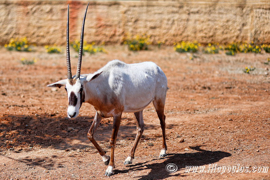 Animal with horns in the zoo