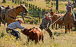 Cowboy Photography Workshop   Erickson Cattle Co. ..Will Bennett and Dan Erickson pull down calf while Wyatt Hansen and his horse steady rope... Photo by Al Golub/Golub Photography