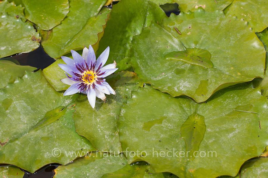 Blaue Ägyptische Seerose, Blaue Ägyptische Lotusblume, Blauer Ägyptischer Lotus, Nymphaea caerulea, syn. Nymphaea nouchali var. caerulea, Blue Egyptian Lotus, Schwimmblatt-Pflanze, Schwimmblattpflanze