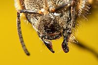 Honigbiene, Mundwerkzeuge, Mundwerkzeug, die ausgeklappten Oberkiefer, Mandibeln, Mandibel, kauen, Honig-Biene, Biene, Apis mellifera, Apis mellifica, honey bee, hive bee