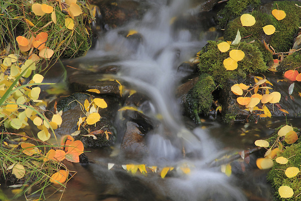 Rocky Mountain stream with autumn Aspen tree leaves, Colorado. .  John offers private photo tours and workshops throughout Colorado. Year-round.