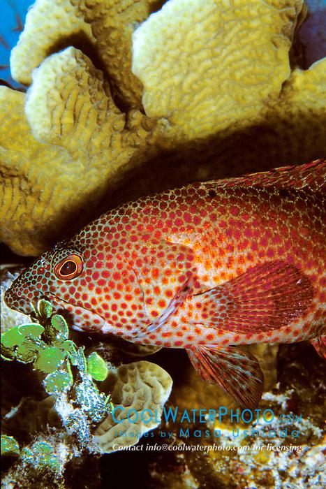 graysby, Epinephelus cruentatus, sheltering under lettuce coral, Agaricia agaricites, Charlie's Reef, Cayman Brac, Cayman Islands, Caribbean Sea, Atlantic Ocean