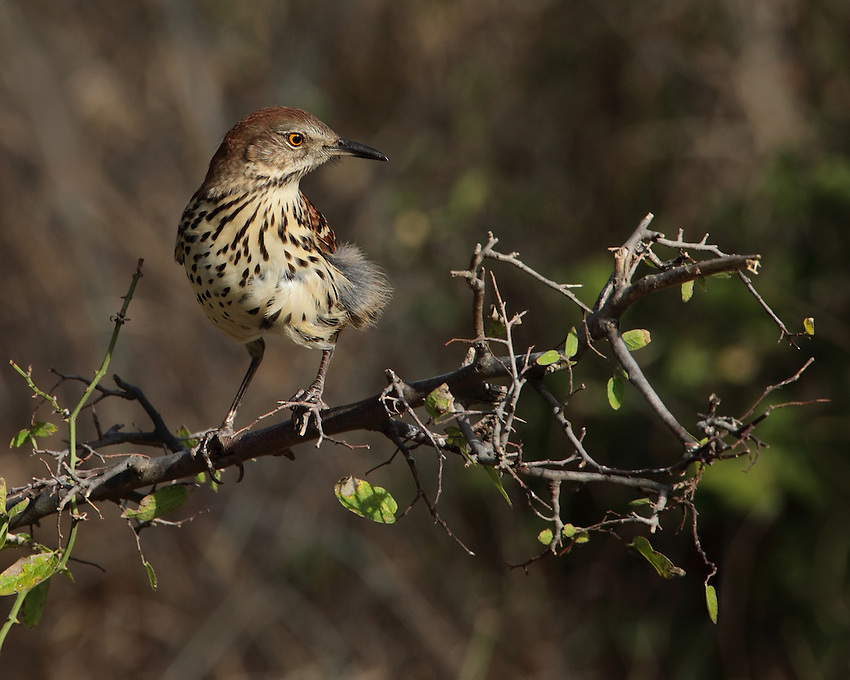 The widespread thrasher of eastern North America, the brown thrasher is generally a secretive bird of dense thickets and hedgerows