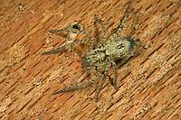 Vierfleck-Zartspinne, Vierfleckzartspinne, Zartspinne, Spinne des Jahres 2015, Anyphaena accentuata, Buzzing Spider, anyphaenid sac spider, Zartspinnen, Anyphaenidae, anyphaenid sac spiders