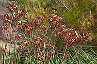 Anigozanthos flavidus Red, flowering perennial in California summer-dry garden with Australian plants Acacia viscidula; design Jo O'Connell
