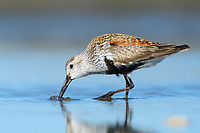 Dunlin (Calidris alpina). Grays Harbor, Washington. May.