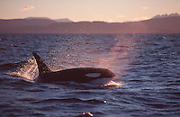 Adult male killer whale Orcinus orca surfacing to breathe at sunset. Tysjord, Arctic Norway