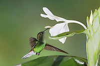 Coppery-headed Emerald, Elvira cupreiceps, male in flight on White Ginger(Hedychium), Central Valley, Costa Rica, Central America