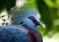 Victoria crowned pigeon (Goura victoria) is a large, bluish-grey pigeon with elegant blue lace-like crests, maroon breast and red iris. It is part of a genus of three unique very large, ground-dwelling pigeons native to the New Guinea region. The bird may be easily recognized by the unique white tips on its crests and by its deep 'whooping' sounds made while calling.Its name commemorates the British monarch Queen Victoria.