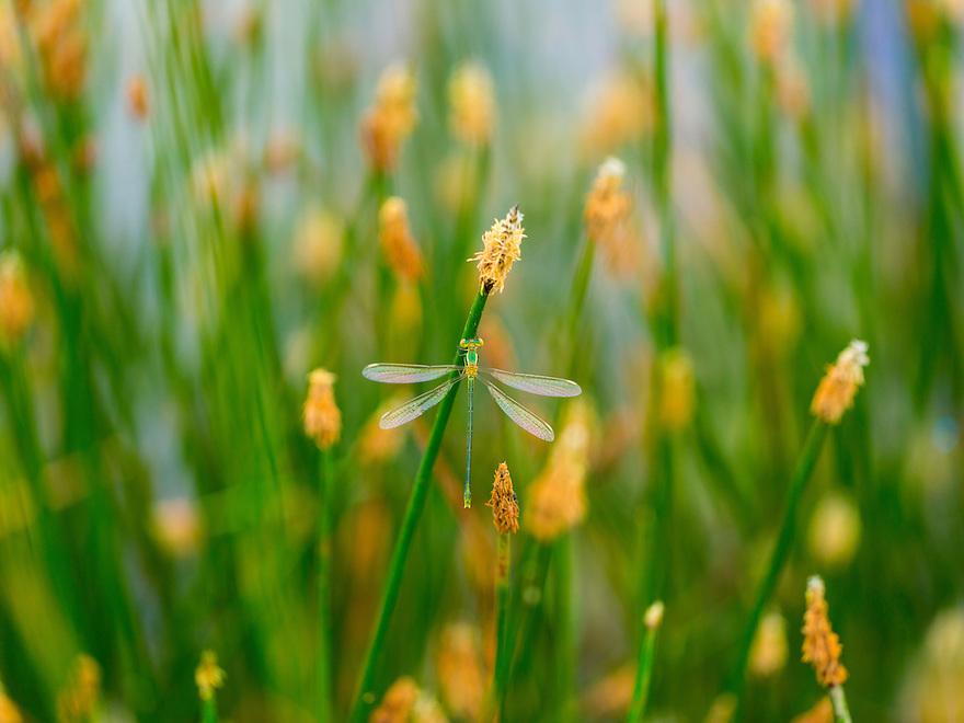 DRAGONFLY Lestes viridis, Campanarios de Azaba Biological Reserve, Salamanca, Castilla y Leon, Spain, Europe