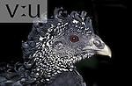 Great Curassow (Crax rubra) adult female