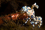 Harlequin Shrimp, Hymenocera picta, eats a starfish leg, Tulamben, Bali, Indonesia, Pacific Ocean