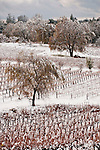 Snow covered vineyards and oak trees by Amador Foothill Winery in California's Shenandoah Valley.