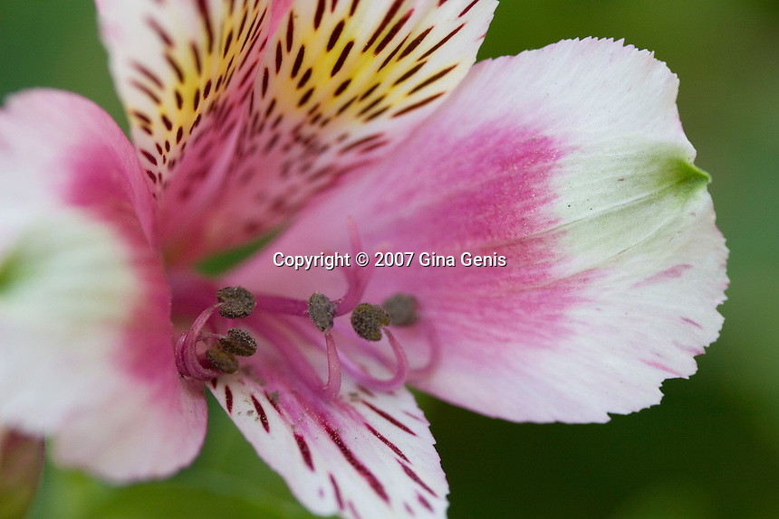 Pink Alstroemeria with curled stamens