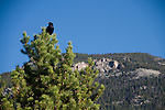 common raven, Corvus corax, pine tree, blue, sky, Rocky Mountain National Park, Colorado, Rocky Mountains, USA