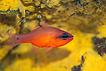 Cardinalfish-Apogon (Apogon imberbis)  of Méditerranée.
