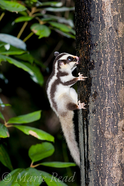 Striped Possum (Dactylopsila trivirgata), clinging to a tree trunk, Lake Eacham, Queensland, Australia