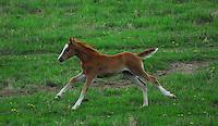 Foal running through a green pasture.