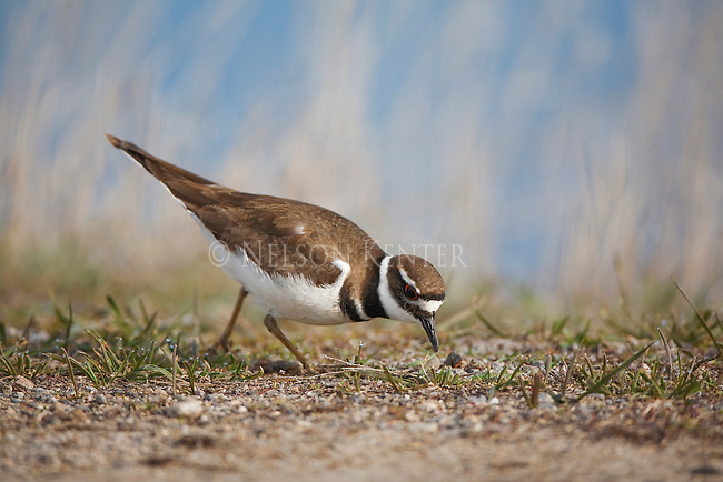 A Killdeer feeding in early morning in western Montana in the Bitterroot Valley