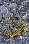 Rockweed (Fucus distichus evanescens), Sitka Sound, Alaska, USA