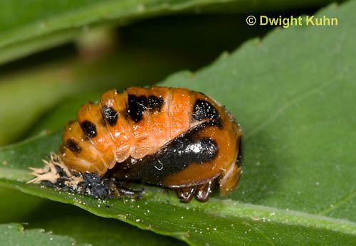 1C10-502z  Asian Ladybug Pupa, Harmonia axyridis