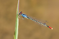 337850015 a wild adult male painted damsel hesperagrion heterodoxum perches on a water plant leaf on the membis river near royal john mine road grant county new mexico united states..GPS:N 32.73066.         W -107.86653