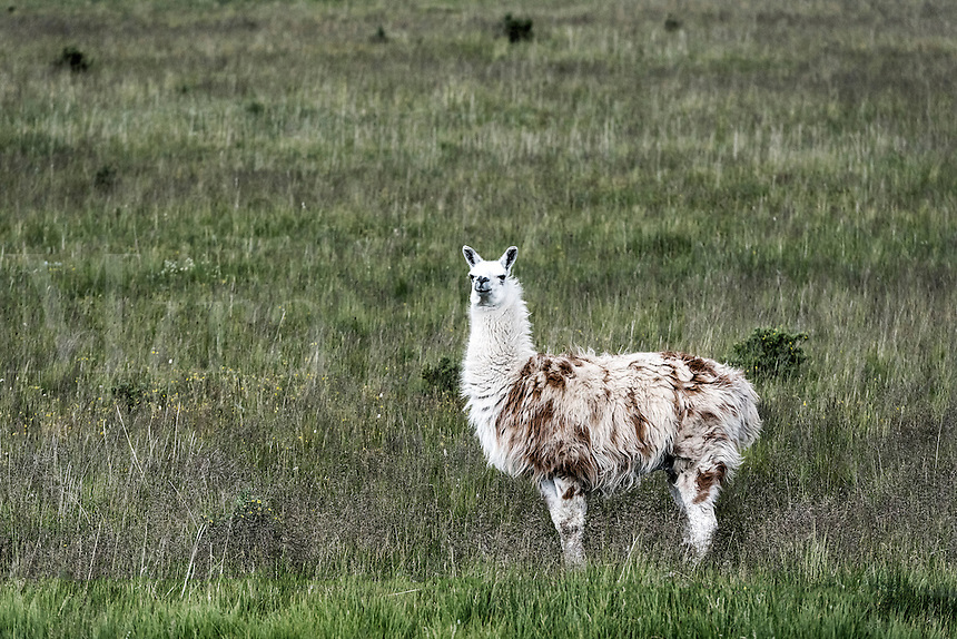 Portrait of a llama, Colorado, USA.