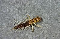 Schlammfliege, Larve im Wasser, Schlamm-Fliege, Sialis spec., Alderfly, larva, larvae, Schlammfliegen, Wasserflorfliegen, Sialidae, Alderflies