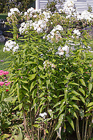Phlox paniculata 'David' with powdery mildew