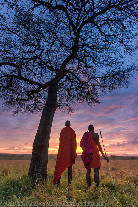 Two Masai tribesman at dawn on the African savannah by an umbrella acacia tree, Masai Mara, Kenya, Africa