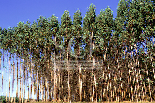 Espirito Santo State, Brazil. Plantation of eucalyptus trees owned by Aracruz.