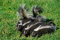 Young striped skunks (Mephitus mephitus).