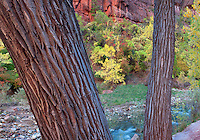 Fall colors and Cottonwood trunks along Virgin River. Zion National Park, Utah.