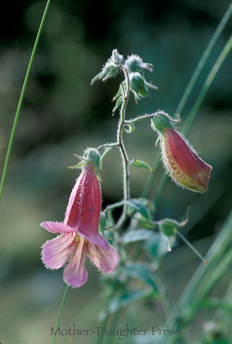 Chinese foxglove, Rehmannia elata, blooms spring through summer