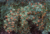 Rosa multiflora, multifloral rose in orange hips, rosehips on entire plant . Rambling roses