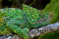 Chameleon (Calluma sp.) Madagascar.