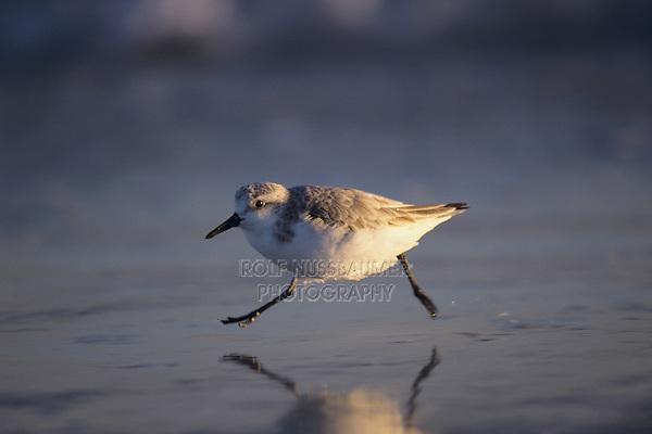 Sanderling, Calidris alba,adult running winter plumage, Sanibel Island, Florida, USA
