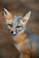 630700002 a captive wildlife rescue kit fox vulpes marcotis in its enclosure at a widlife rescue facility