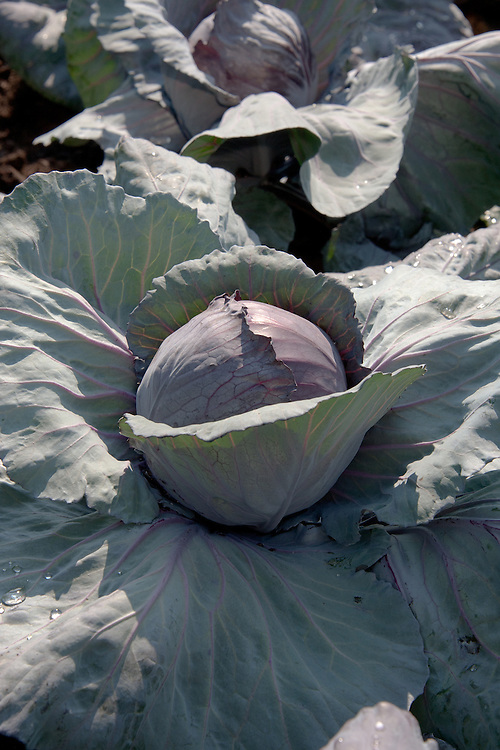 Cabbage 'Red Drumhead', early July.