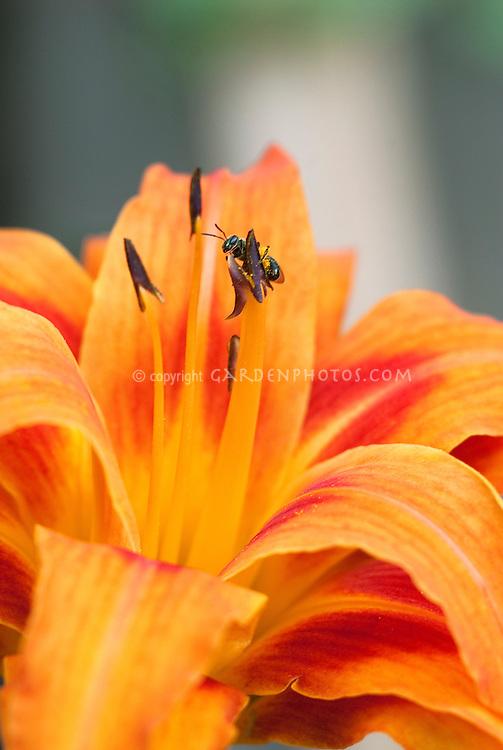 Hemerocallis fulva Kwanzo double with bee