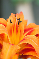 Hemerocallis fulva Kwanzo double with bee