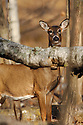00275-195.01 White-tailed Deer (DIGITAL) doe stares from behind downed birch tree in hardwood forest.  Hunting, fall.  V8R1
