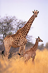 Reticulated giraffe and baby