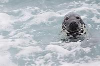 Grey seal (Halichoerus grypus) Saltee Islands Ireland