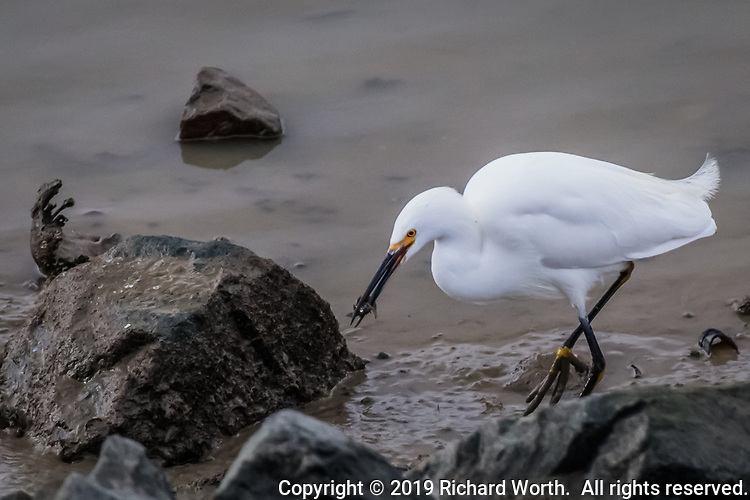 Patience and persistence have paid off for a Snowy egret who has snagged an unidentified bit of lunch along the rocky shoreline at the San Leandro Marina on San Francisco Bay.